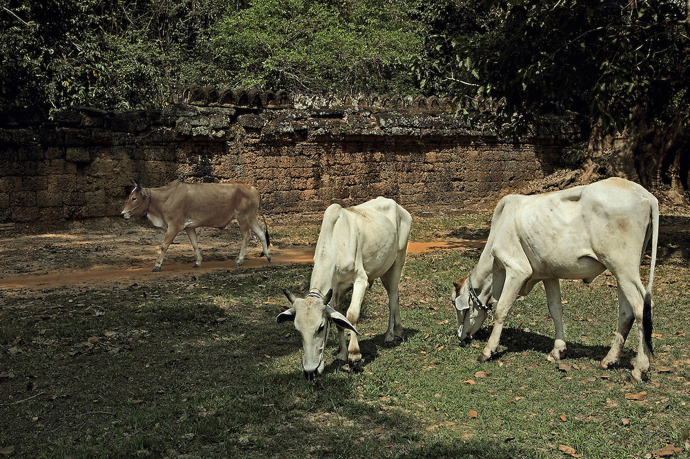 Cattle grazing in the area of Angkor Thom.  Two white bulls, heads down, eat grass, while a third, brown bull walks past them along the path, ignoring them.