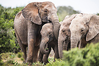 African elephant herd with tuskless matriarch, Addo Elephant National Park, Eastern Cape, South Africa