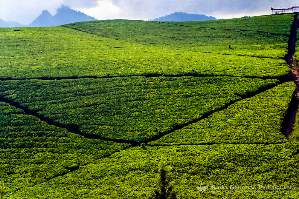 Indonesia, Java, Cisarua. Tea are grown in high altitudes, like here in the hills above Bandung. Tea has been part of the way of life in Indonesia for more than 200 years.