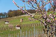 Bandelblüte in den Weinbergen, Heppenheim, Bergstraße, Hessen, Deutschland | flowering almond in vine yards, Heppenheim, Bergstrasse, Hesse, Germany