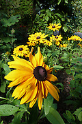 A golden grouping of Rudbeckia 'Marmalade' flowers.<br />