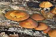 Sheathed Woodtuft - Kuehneromyces mutabilis
