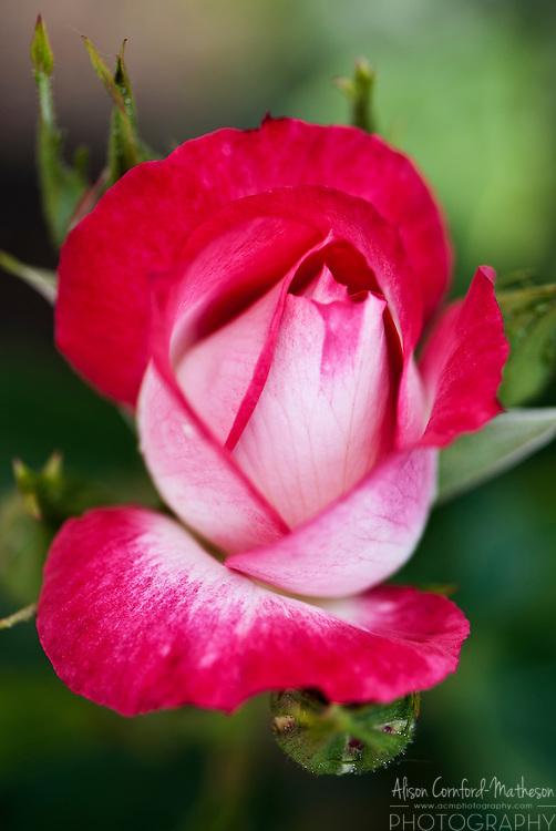 Rose Suni
