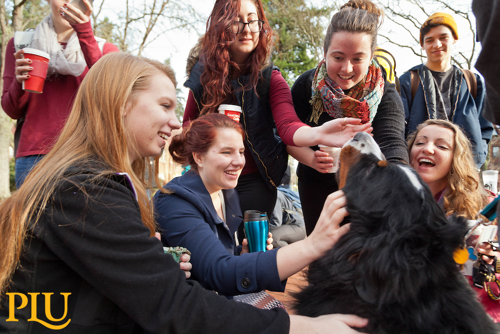 Aslan, a Bermese mountain dog therapy dog visiting campus to help take away stress for leading into finals week at PLU on Friday, Dec. 12, 2014. (Photo/John Froschauer)