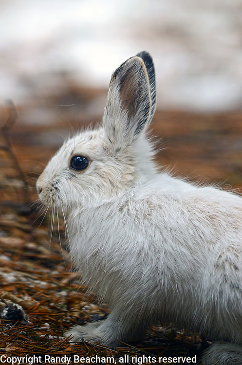 Snowshoe hare with its white winter coat in early spring. Purcell Mountains, northwest Montana.