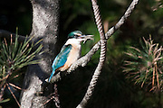 The Sacred Kingfisher's diet includes insects, crabs, even small birds, and skinks.  Here it feeds on a mud crab caught in the Invercargill Estuary in New Zealand.