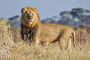 Lion on termite mound watching over the pride