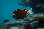 Acanthurus nigricans (Whitecheek surgeonfish)