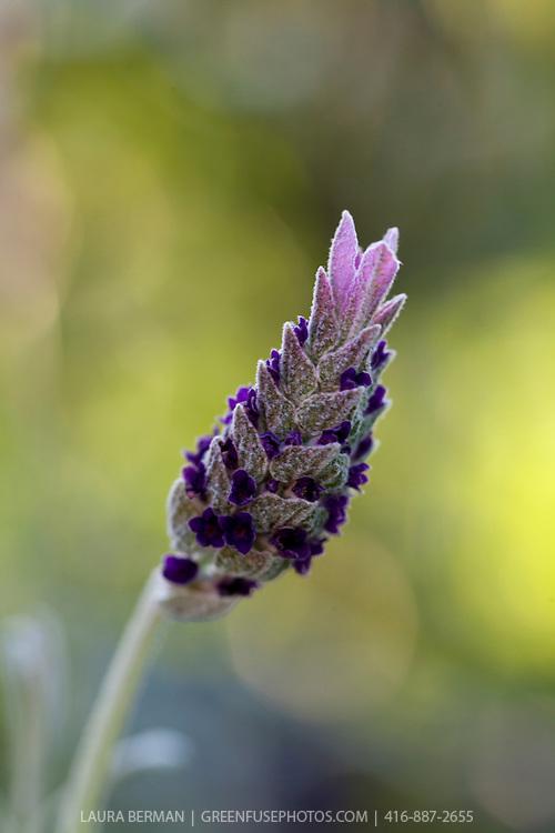 Silver Anouk Spanish lavender (Lavandula stoechas 'Silver Anouk')