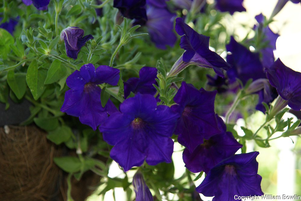 Deep Purple petunias