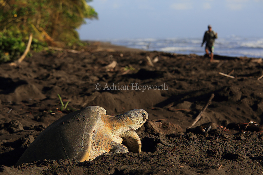 A park ranger approaches a female green turtle (Chelonia mydas) climbing out of her nest hole in the early morning in Tortuguero National Park, Costa Rica.