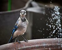 Blue Jay Image taken with a Nikon D5 camera and 600 mm f/4 VR lens