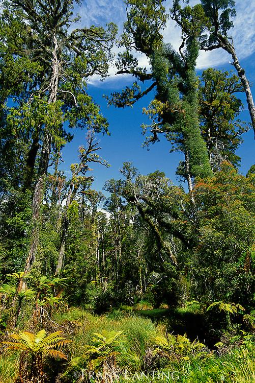 Swamp forest, Fiordland National Park, New Zealand