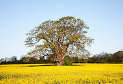 Spring rural landscape with yellow flowers of oils seed rape crop and oak tree in early leaf, Sutton, Suffolk, England