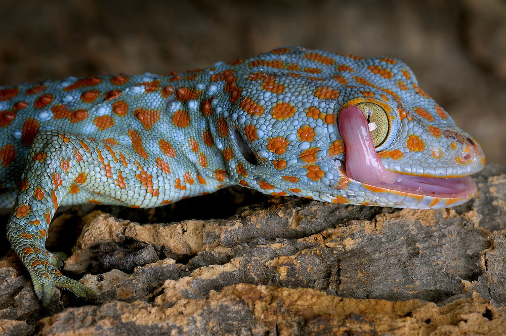 The Tokay Gecko (Gekko gecko), is a nocturnal arboreal gecko native to southeast Asia and the Indo-Australian Archipelago. They are abundant, ranging from northeast India and Bangladesh, throughout Southeast Asia, to Indonesia and western New Guinea