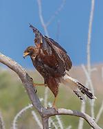 Juvenile Harris's hawk walks up a branch with a wing flap. © 2012 David A. Ponton