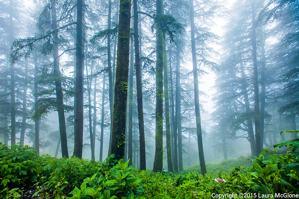 India Shimla Himachal Pradesh Trees in Fog