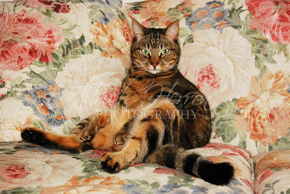 Tabby cat relaxes on the couch