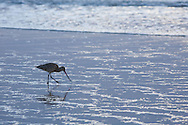 A bird looking for food on a beach in California in the afternoon