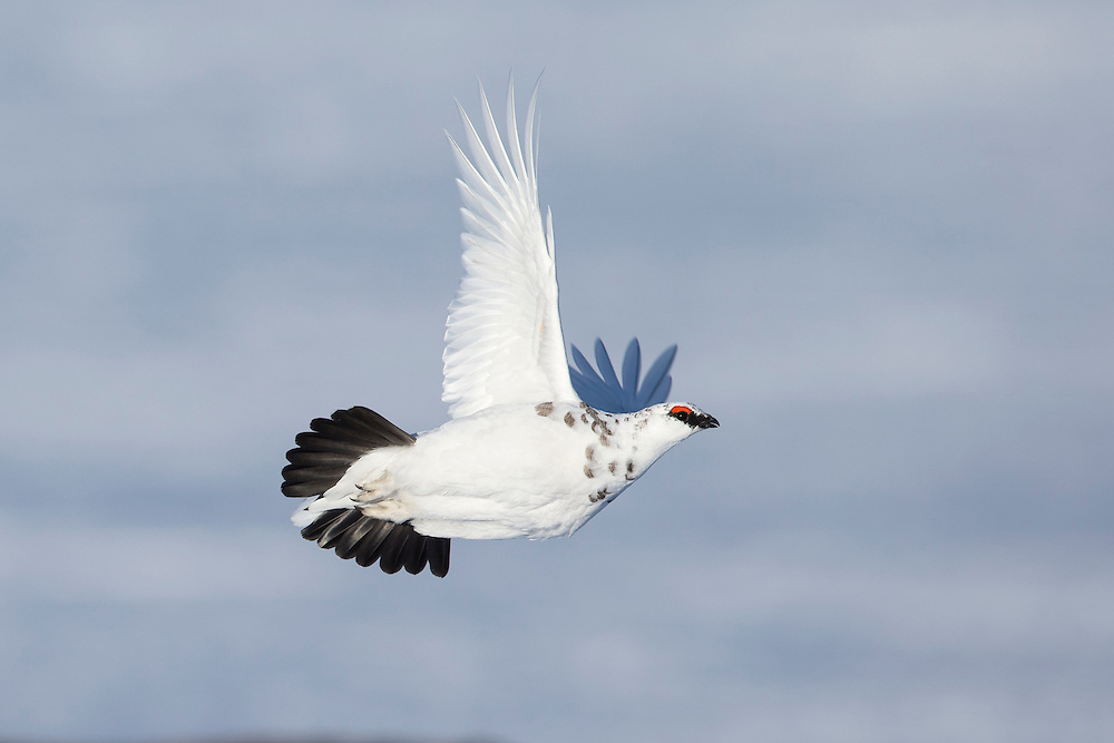 Ptarmigan (Lagopus mutus) winter plumage male in flight