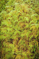 Step moss is a very distinctive and attractive moss found throughout most of the Pacific Northwest. This lush soft moss grows in carpets on rocks, logs, and trees, such as this growth on the side of a bigleaf maple in the Hoh Rain Forest.
