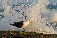 A Kelo Gull searches for marine organisims to feed upon on the exposed intertidal rock flats at low tide, De Hoop Marine Protected Area, Western Cape, South Africa