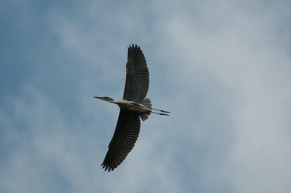 Great Blue Heron flying overhead at Eldridge Park in Elmira, NY in September