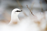 Grouse -  Ptarmigan - Rjúpa