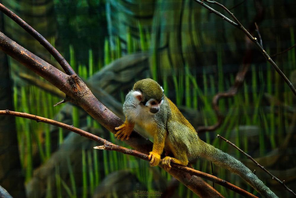 Pygmy Marmoset at Kristiandsand zoo.