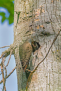 A red-shafted northern flicker (Colaptes auratus cafer) feeds its young in its nest in the Washington Park Arboretum in Seattle, Washington. Northern flickers primarily feed on insects; ants make up nearly half their diet. They feed their young by regurgitation. Juvenile flickers typically leave the nest 25 to 28 days after they hatch.