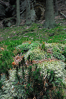 (Dicranum scoparium) Moss in a Norway Spruce Forest (Picea abies), Mullerthal trail, Mullerthal, Luxembourg