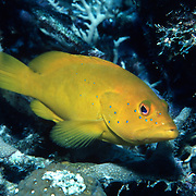 Coney, golden variation, inhabit reefs in Tropical West Atlantic; picture taken Grand Cayman.