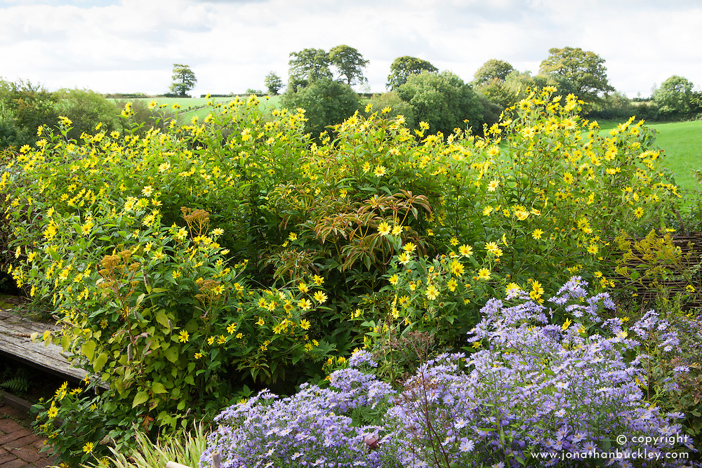 Helianthus 'Lemon Queen' and Aster cordifolius 'Little Carlow' growing round a bench at Glebe Cottage