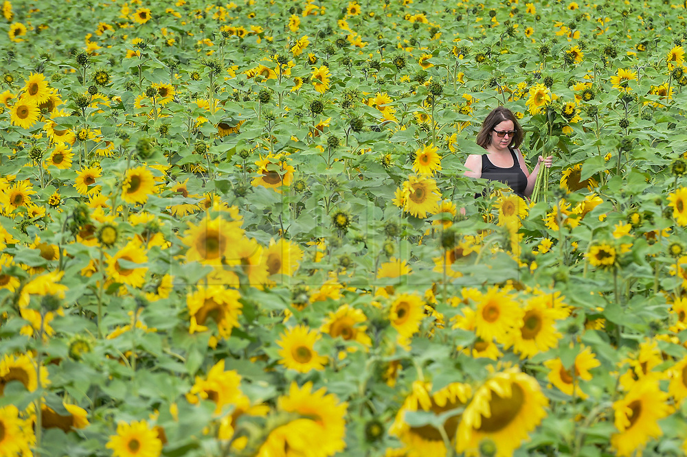 © Licensed to London News Pictures. 20/08/2019. ST ALBANS, UK.  A woman walks through the sunflowers on a dry day at Pop-Up Farm, a family run and family friendly farm that welcomes thousands of visitors each year at a series of pop-up farming festivals.  The forecast is for the temperatures to warm up ahead of the August Bank Holiday Weekend. Pop-Up Farm is the vision of Ian and Gillian Pigott who are passionate about farming, education and the environment. The Pigott family have been farming in Hertfordshire for many generations.  Photo credit: Stephen Chung/LNP