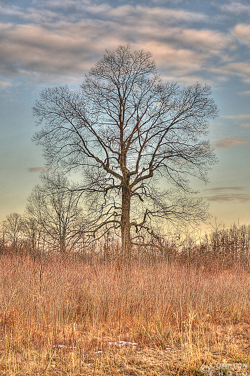 Tree at Sunset in the Great Swamp