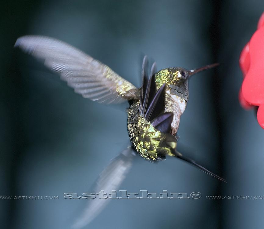 Hummingbird in fly