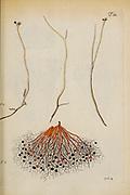hand painted Botanical illustration of flower details leafs and plant from Miscellanea austriaca ad botanicam, chemiam, et historiam naturalem spectantia, cum figuris partim coloratis. Vol. II  by Nicolai Josephi Jacquin Published 1781. Figure 7