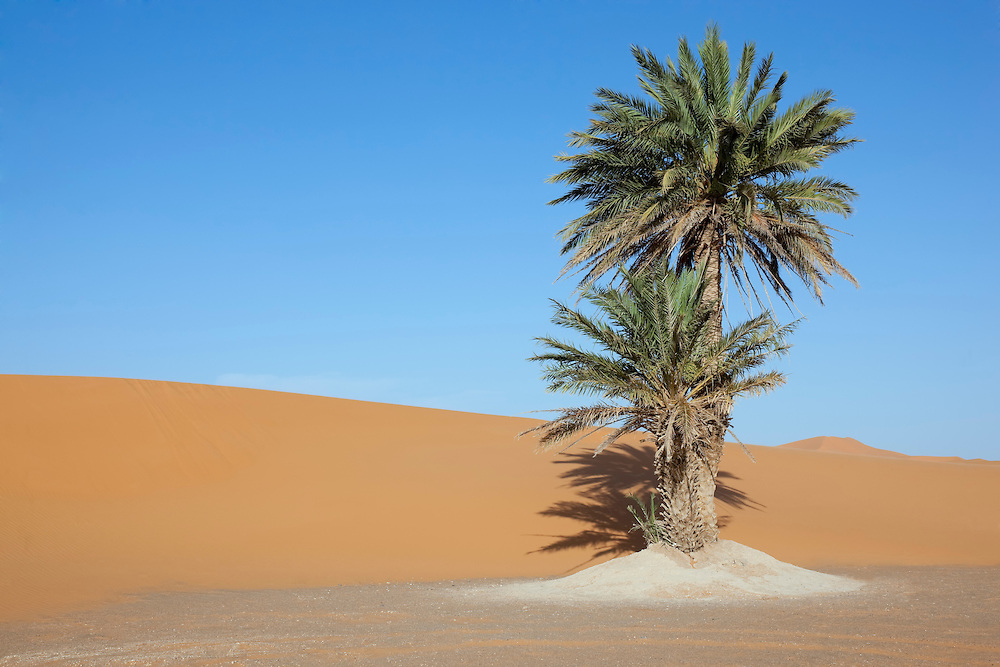 Date palms near sand dunes against clear blue sky, in Merzouga, Morocco.