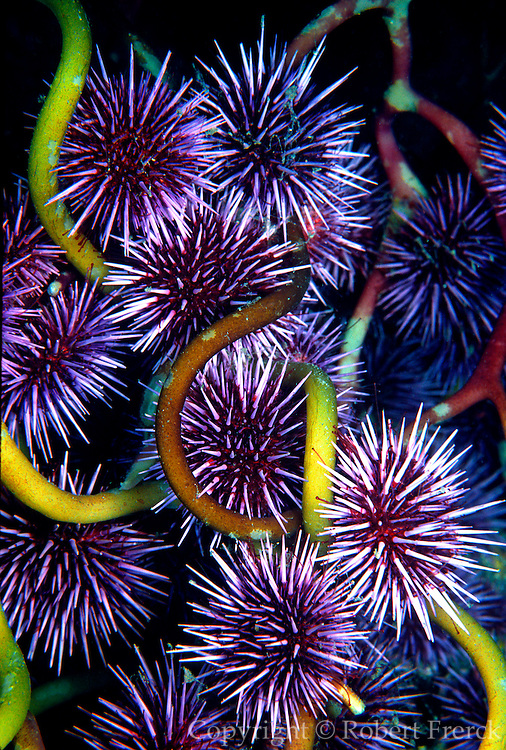 UNDERWATER MARINE LIFE EAST PACIFIC: Northeast URCHINS: Purple sea urchins Strongylocentrotus purpuratus