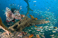 Red Lionfish  (Pterois volitans) on a wreck Nosy Be Madagascar / Rascasse volante (Pterois volitans), Nosy Be Madagascar