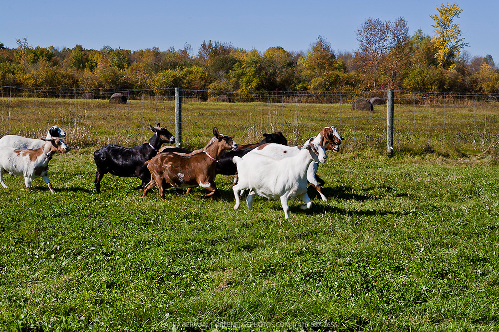 A herd of Nubian dairy goats running through the grass.