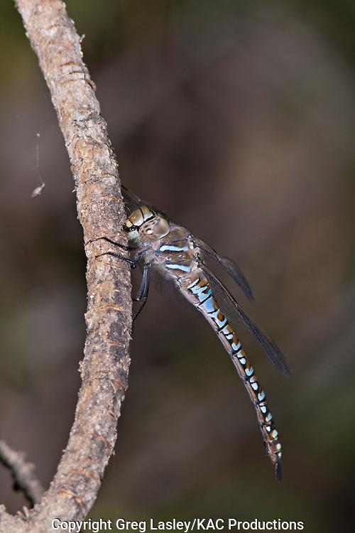 Variable Darner.Aeshna interrupta.female - posed photo.Crane Prairie  Reservoir,.Deschutes National Forest,.Deschutes Co., Oregon.1 August 2008. dragonfly