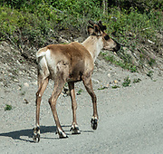 Young caribou in Stone Mountain Provincial Park, Alaska Highway, British Columbia, Canada. Caribou are large, wild, elk-like animals which live on lichen and vegetation above tree-line in arctic North America and Greenland. Reindeer and caribou look different, but they are probably the same species of deer (Rangifer tarandus) which are well adapted to Arctic and Subarctic regions. Both sexes grow antlers, which are typically larger in males. Reindeer are well known from the Christmas myth where flying reindeer pull Santa Claus's sleigh, as popularized since the early 1800s in America. Reindeer are slightly smaller and were domesticated in northern Eurasia about 2000 years ago. Today, reindeer are herded by many Arctic peoples in Europe and Asia including the Sami in Scandinavia and the Nenets, Chukchi, and others in Russia. Reindeer and caribou have unique hairs which trap air for excellent insulation and flotation for swimming cold rivers.
