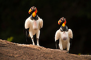 King Vulture (Sarcoramphus papa)<br />