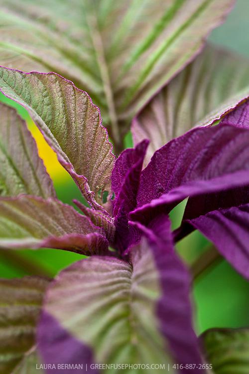 Variegated amaranth greens.