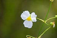 Alismataceae (Water Plantains)