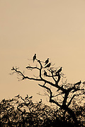 Group of Frigate birds (Fregata magnificens), nest in a tree on Pacheca Island, Las Perlas archipelago, Panama, Central America