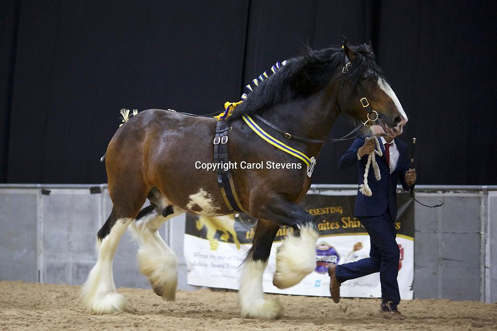 Mr P E Moss's HILLMOOR DIAMOND KING  f 2011  (No.103)<br /> Sire  Walton Supreme<br /> Dam  Overton Green Diamond<br /> 5th  Stallions 5 years &amp; upwards