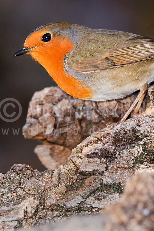 Alberto Carrera, Robin, European Robin, Erithacus rubecula, Guadarrama National Park, Segovia, Castilla y León, Spain, Europe.