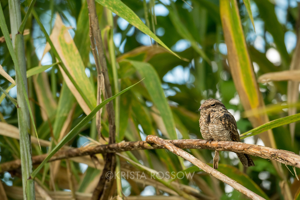 A common pauraque (Nyctidromus albicollis) resting on a branch along the Yanayacu River off of the Marañon River. Pacaya Samiria National Reserve, Upper Amazon, Peru.